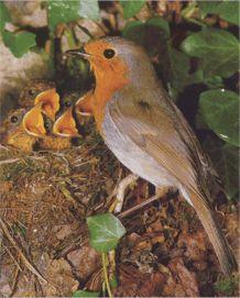Зарянка, или малиновка (erithacus rubecula). Зарянка (малиновка) птица. Фото, видео