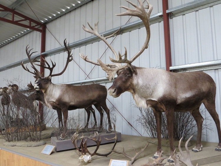 taxidermied animals at Caribou Crossing Museum