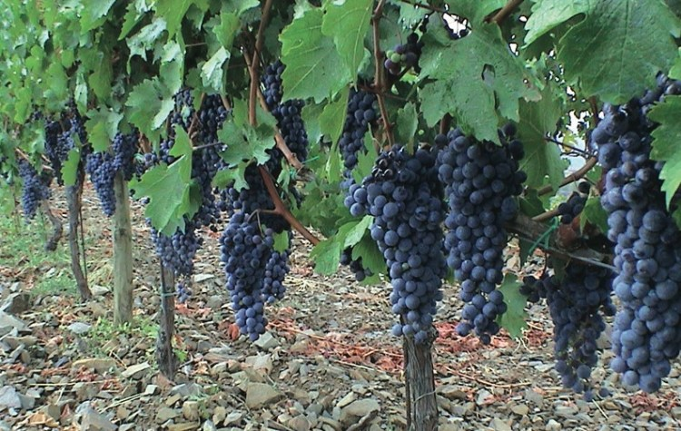 Grenache (Garnacha) - together with Carignan, the main red wine grapes of Montsant