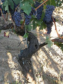 Tempranillo is a happy transplant to the Valle de Guadalupe