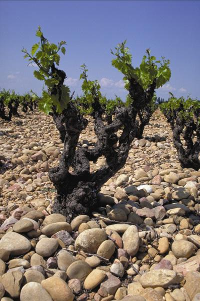 "The stony terroir of the "" gress""  gravel beds"