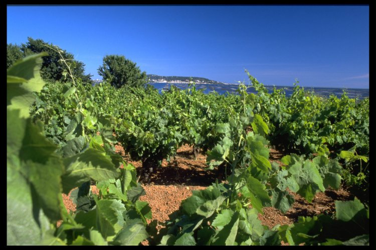The vineyards of Picpoul de Pinet cover the landscape and extend right to the shoreline of the Thau Lagoon