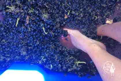 zandvliet wines wine girl harvest grapes squash
