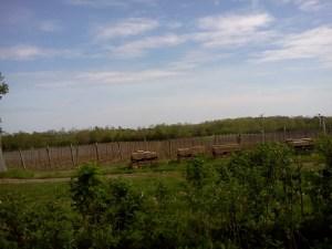 vines-prince-edward-county