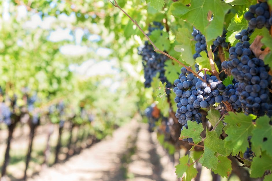 Vineyard row with purple grape clusters hanging