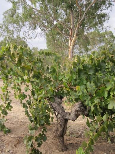 more old vines