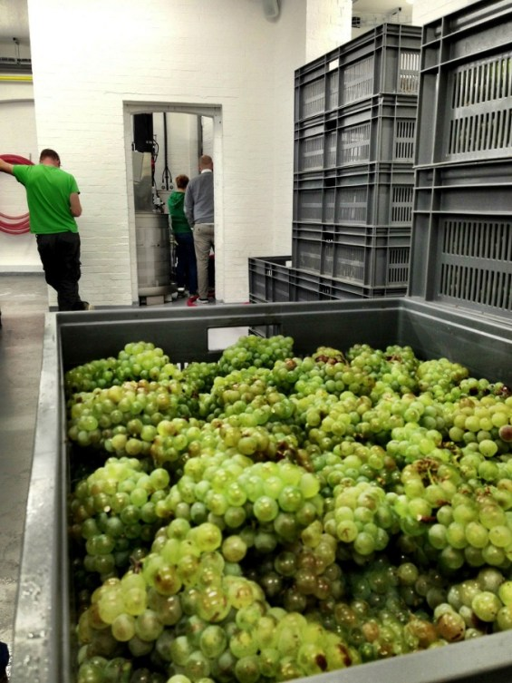 chardonnay before going into the press...