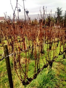 biodynamic vines (unpruned)