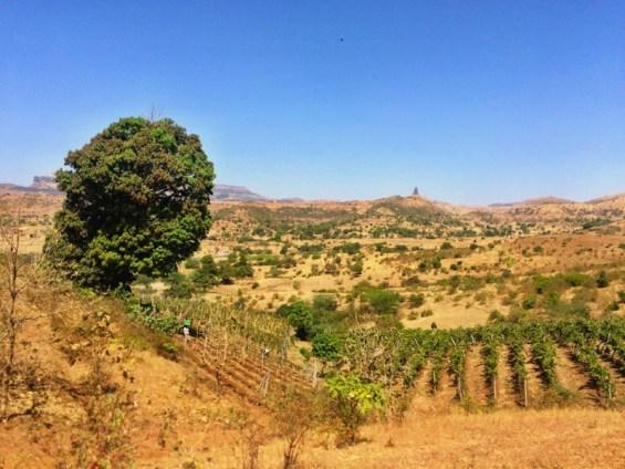 One Tree vineyard, Grover Zampa winery, Nashik Valley, Maharashtra, India, Indian wine