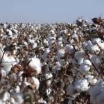 Bt cotton. Credit: TNAU