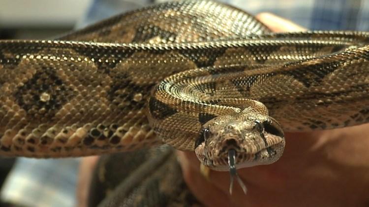 A boa constrictor. Credit: Joseph O'Neill.