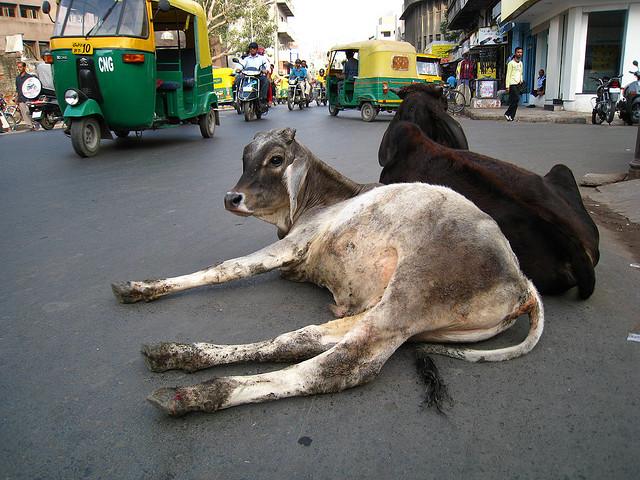 Resting cows (Photo Riccardo Romano)