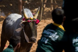 Jallikattu. Credit: vinothchandar/Flickr, CC BY 2.0