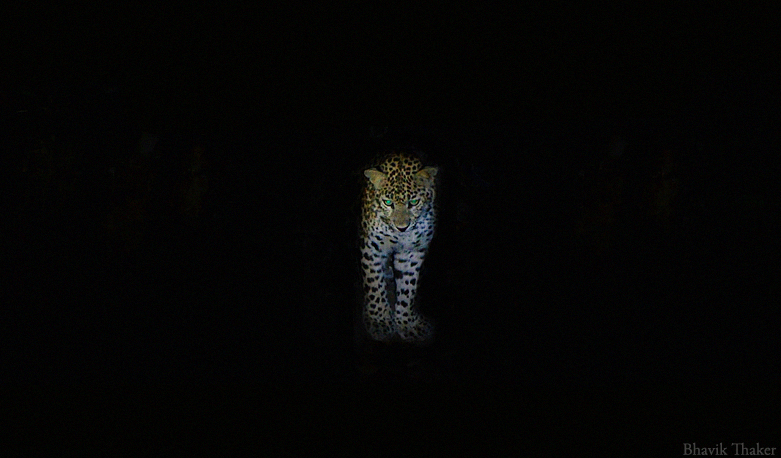A leopard caught on camera. Credit: bhavik Thaker/Flickr, CC BY 2.0