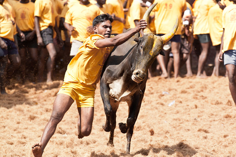 File picture of the traditional jallikattu in Tamil Nadu. Credit: Djoemanoj Wikipedia Commons