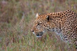 A leopard. Credit: malcolmcerfonteyn/Flickr, CC BY 2.0