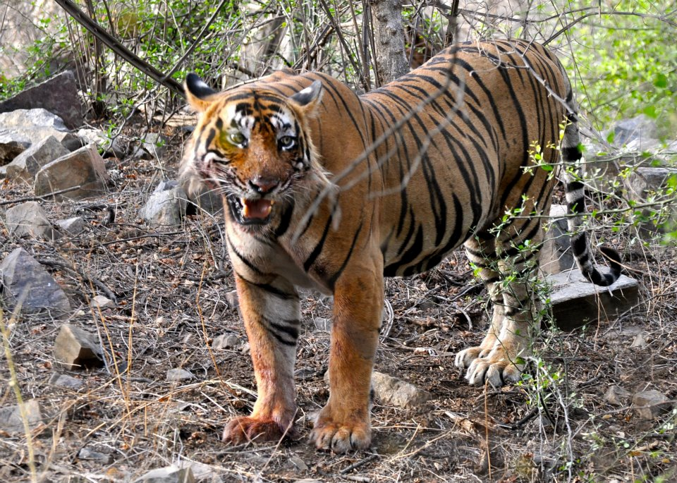 Ustad in Ranthambore Tiger Reserve. Credit: Himangini Rathore Hooja/Wikimedia Commons, CC0