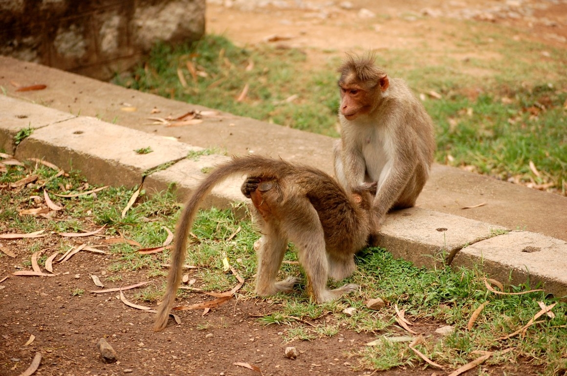 A bonnet macaque shows its rear to its grooming partner. Credit: Shreejata Gupta and Anindya Sinha