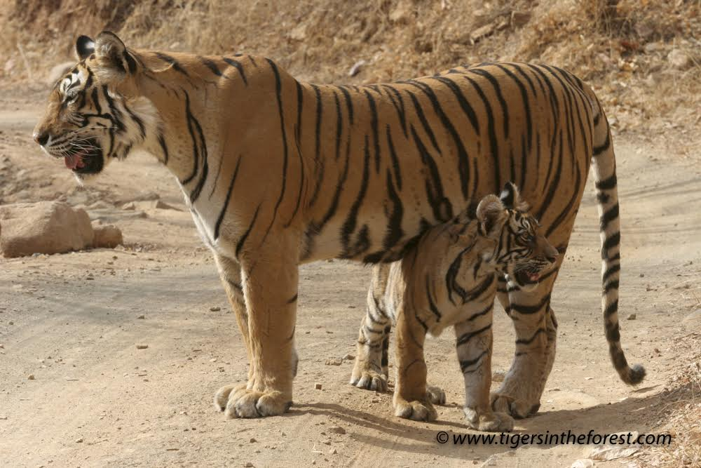 """On my first visit to Ranthambhore over 10 years ago I saw Machli together with her second litter of cubs. She was such a confident and self assured tigress with no fear of the jeeps as she often wandered between them as visitors took her picture. A truly wonderful tigress who gave so much to Ranthambhore with the 4 litters of cubs that she produced."" Caption and credit: Michael Vickers"