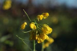 Mustard. Credit: johnloo/Flickr, CC BY 2.0