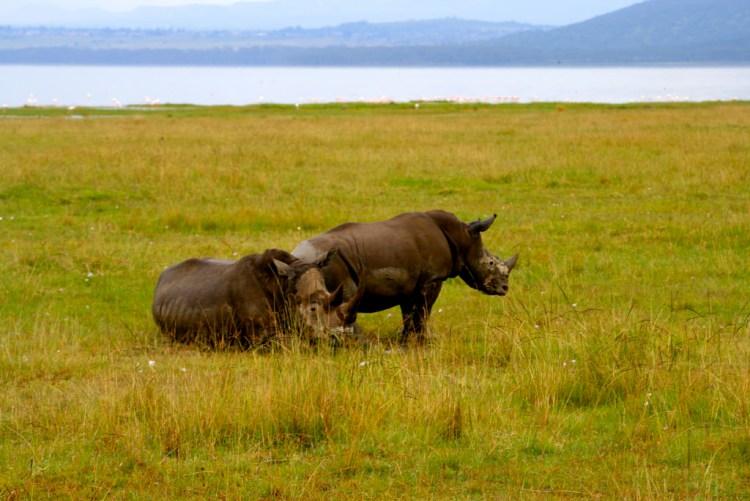 Rhinos in Kenya. Credit: davida3/Flickr CC BY-ND 2.0
