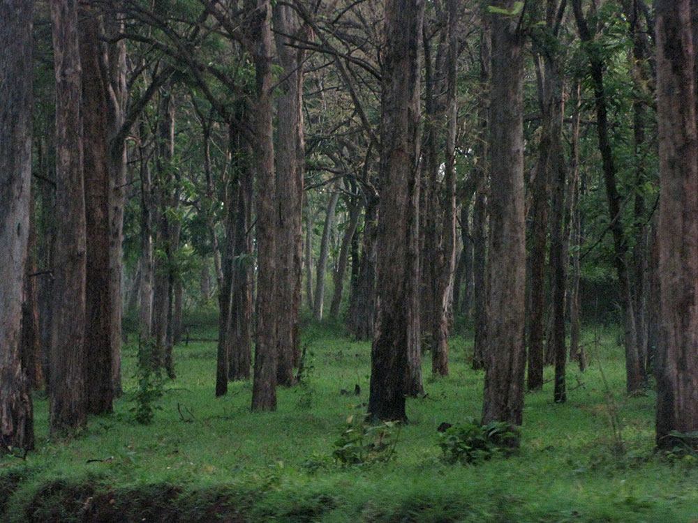 Bandipur Forest, Karnataka, a sanctuary for a small group of tigers. Credit: vijaysawant/Flickr, CC BY 2.0 (environmental)