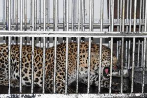 The Yamuna leopard. Credit: Raheja Productions