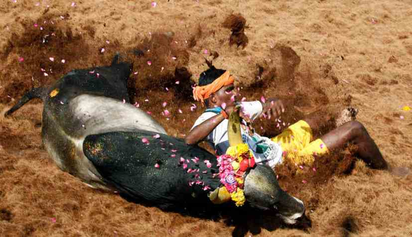 Jallikattu became a cultural symbol that triggered the protests on Marina beach. Credit: AP/Files