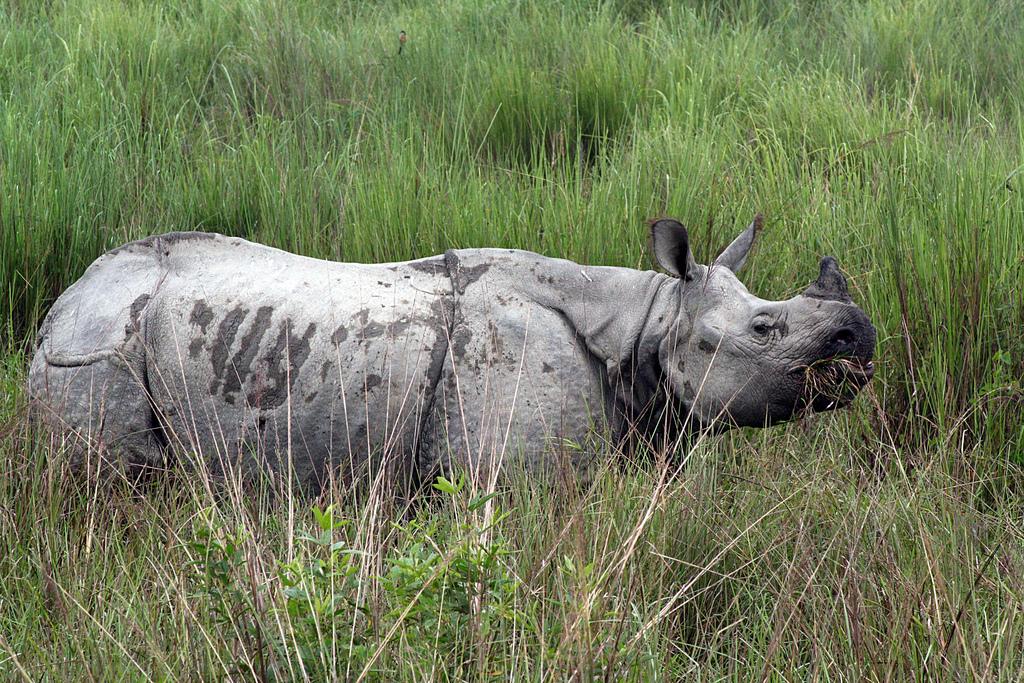 One Horned Rhinoceros at the Kaziranga National Park. Credit: Wikimedia Commons