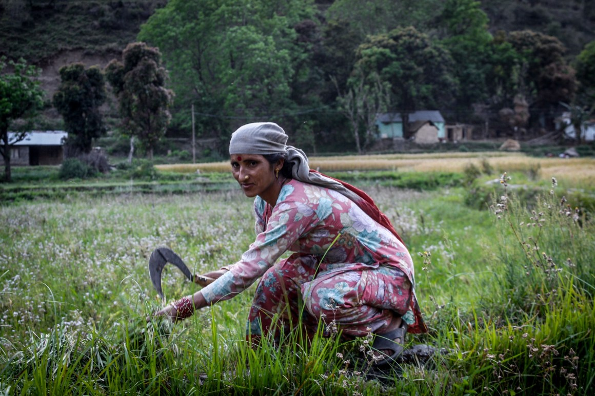 Lata Devi cutting grass for her cattle. Credit: Sumit Mahar