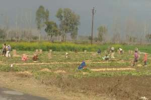 A potato farm in Amroha Credit: Rajan Pandey
