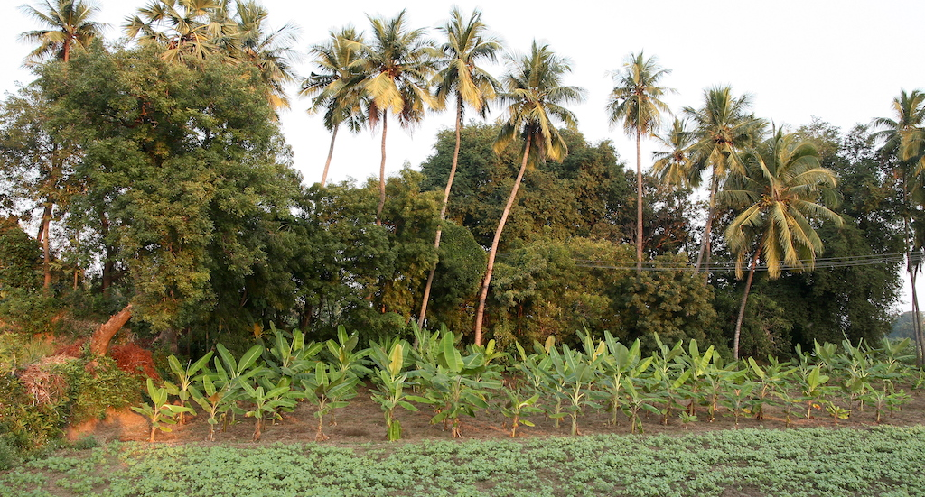 A small agroforestry farm in Pudukottai with black gram crop and banana, neem, tamarind and coconut trees. Credit: R. Samuel/Village Square