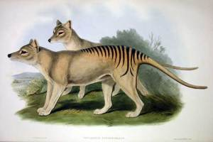 Thylacinus cynocephalus. Credit: Wikimedia Commons