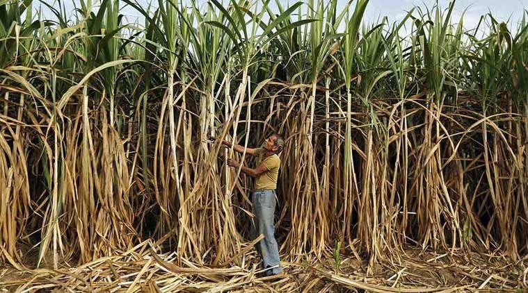 Representative image of a sugarcane farmer. Credit: Reuters