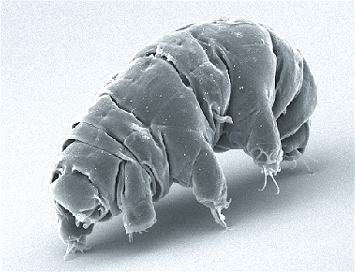 A live tardigrade as observed by a scanning electron microscope. Credit: doi:10.1371/journal.pone.0045682.g001
