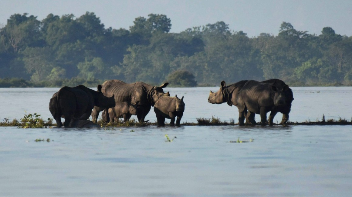 Rhinos with their calves standing on an elevated land in the flooded Kaziranga National Park in Assam. Credit: PTI