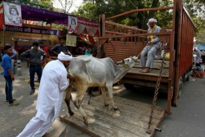 Men load a cow onto a truck in the Jantar Mantar area of New Delhi (Representational image). Credit: Reuters/Cathal McNaughton