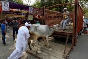Men load a cow onto a truck in the Jantar Mantar area of New Delhi (Representational image). Credit: Reuters/Cathal McNaughton