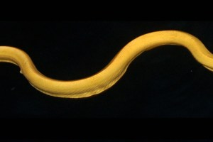 A yellow seasnake. Credit: Brooke Bessesen