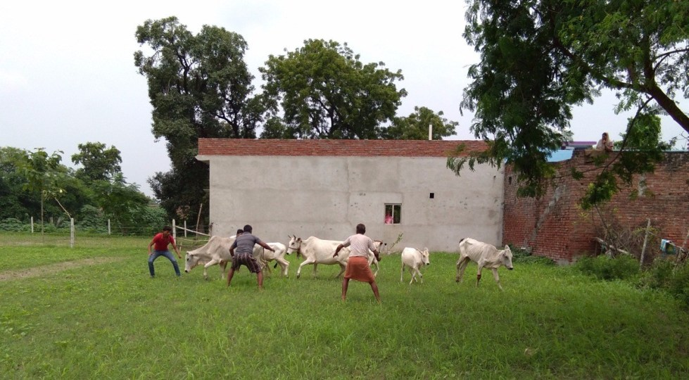 Villagers trying to catch the animals grazing in their fields. Credit: Krishna Kant/The Wire