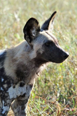 An African wild dog. Credit: Andrew King