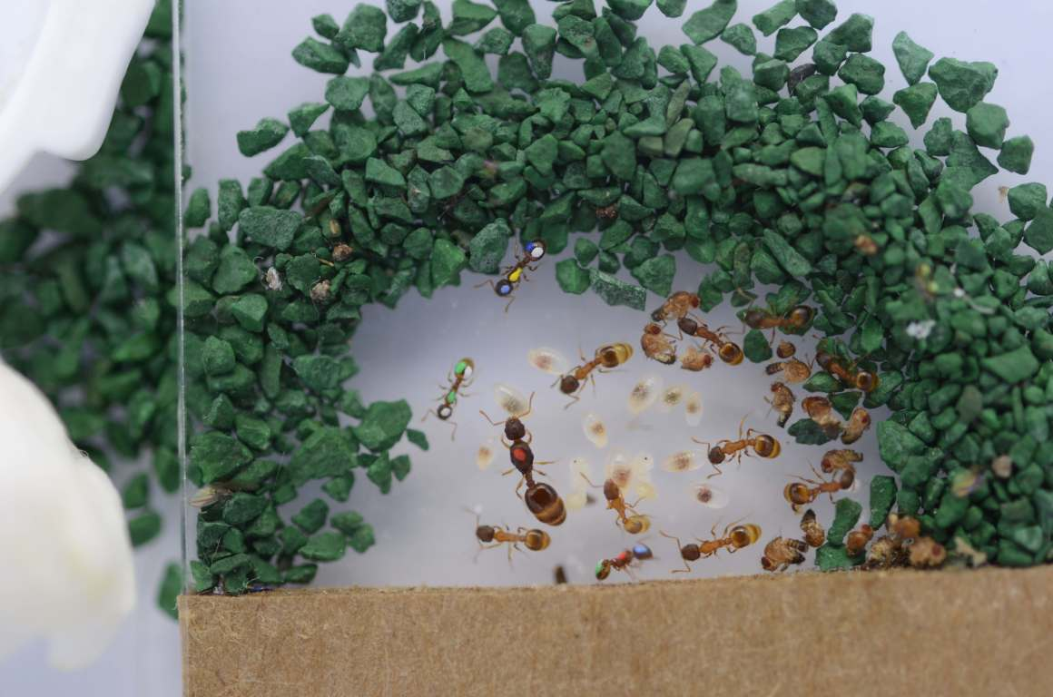 An ant colony in a lab. Credit: Daniel Charbonneau