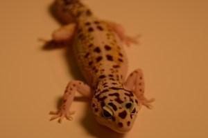 A leopard gecko. Credit: Timothy Higham