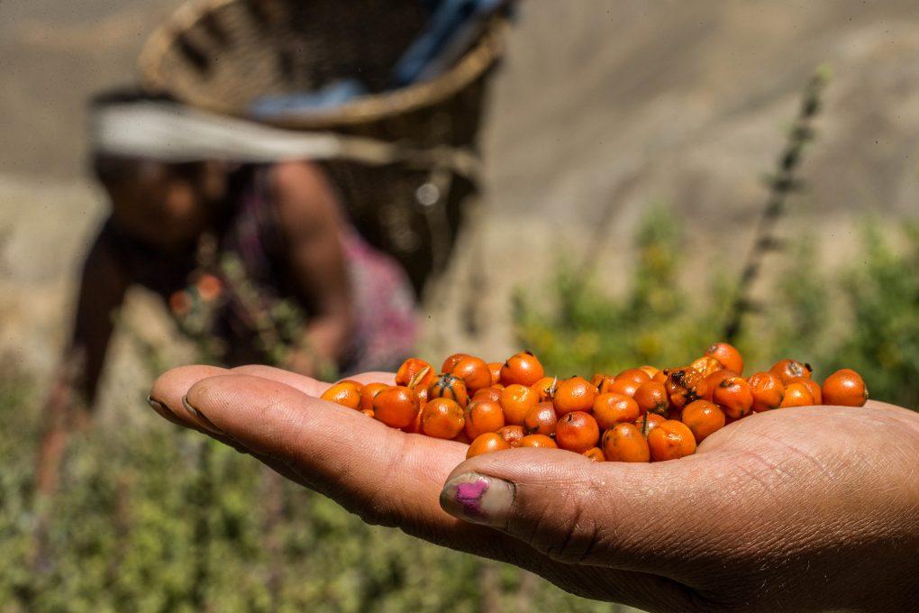 A handful of harvested sea buckthorn berries. Credit: Flickr