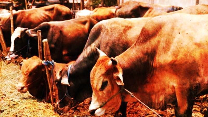 Appoint District Officers to Curb Cow Vigilantism, SC Tells States