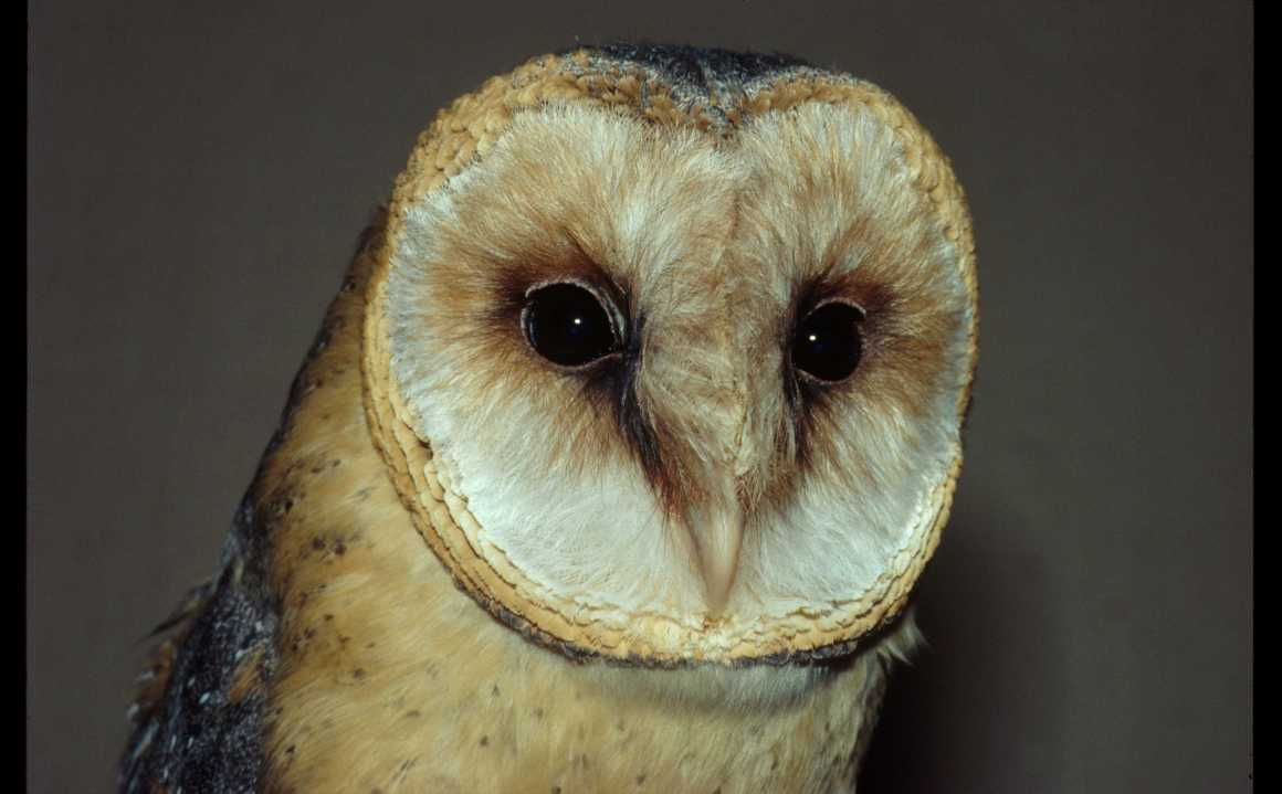 Elderly barn owls do not become hard of hearing as they age. Credit: Group Animal Physiology and Behaviour, Oldenburg University