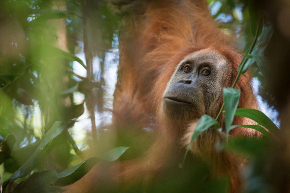 A photo of Pongo tapanuliensis, identified as a new species of orangutan is shown, found on the Indonesian island of Sumatra where a small population inhabit its Batag Toru forest. Credit: Andrew Walmsley/Handout via Reuters