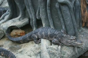 One of several Chinese Alligators at the Cincinnati Zoo and Botanical Garden. Caption and credit: Greg Hume/Wikimedia Commons, CC BY-SA 3.0