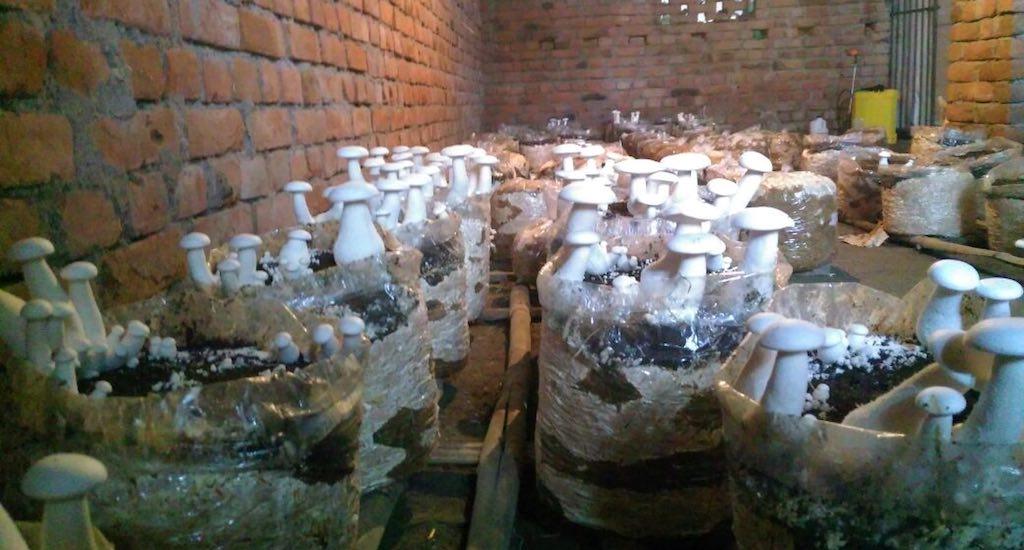 Mushrooms being cultivated indoors in Anantpur. Credit: Mohd Imran Khan
