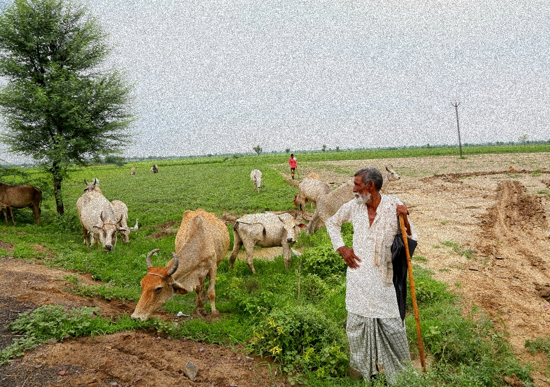 Kolgaon Cows Photo The Wire